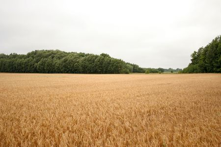 rye field Stock Photo - 3501854