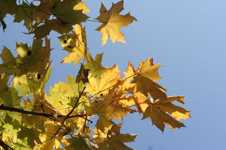 orange maple leaves on the blue sky   photo