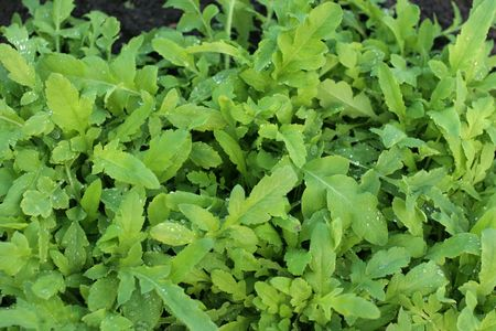 Rucola Stock Photo