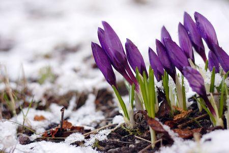 Purple crocuses through the snow Stock Photo - 4699976