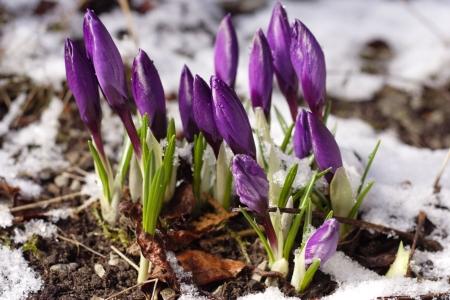crocuses: Purple crocuses through the snow