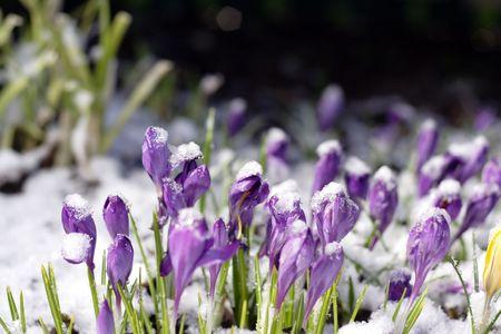 Purple crocuses through the snow photo