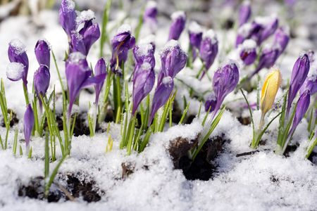 Purple crocuses through the snow Stock Photo - 4699995