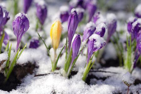 krokus: Paars crocuses door de sneeuw Stockfoto