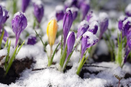 thawing: Purple crocuses through the snow
