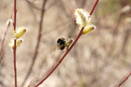 osier: A closeup of a bee collecting pollen from a willow