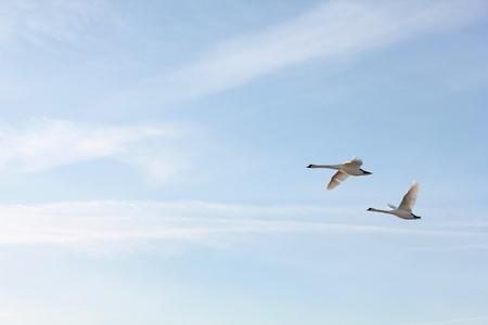 swan pair: flying Swans