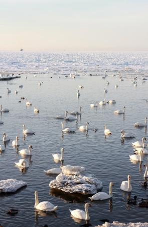 Swan sea Stock Photo - 9227774