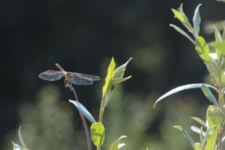 libel: dragonfly