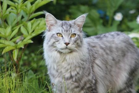 maine coon: Maine Coon Katze