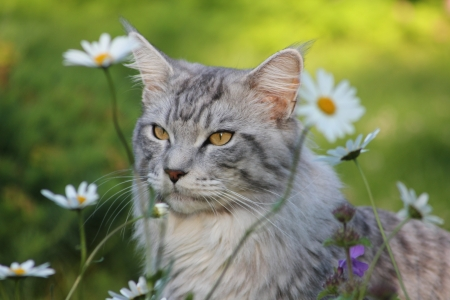 Maine coon cat Imagens