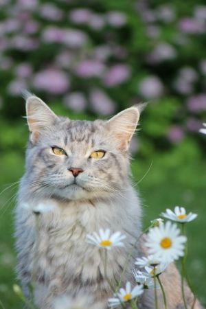 Maine coon cat photo
