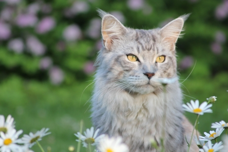 maine coon: Maine Coon chat