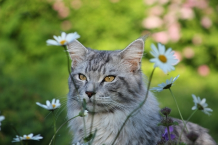 coon: Maine coon cat Stock Photo