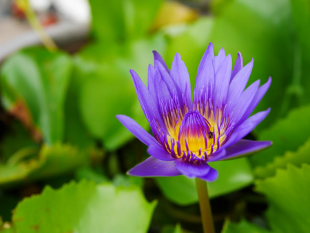 admired: Lotus flower has been admired as a sacred symbol. This striking plant is a common icon in the art of several Eastern spiritual. Stock Photo