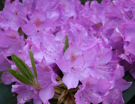 laurel mountain: Mountain Laurel
