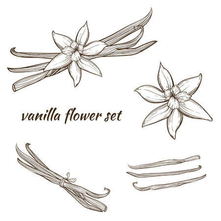 Vanilla pods and flower Stock Illustratie
