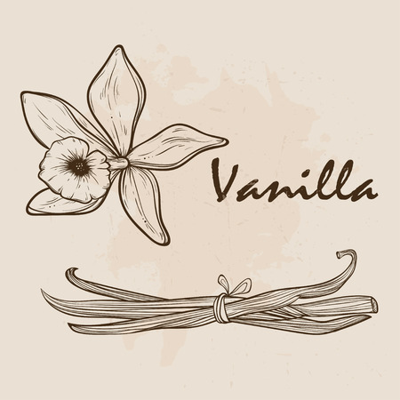 Vanilla pods and flowers. Stock Vector - 89041508