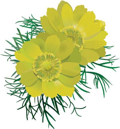 primrose: Adonis vernalis.