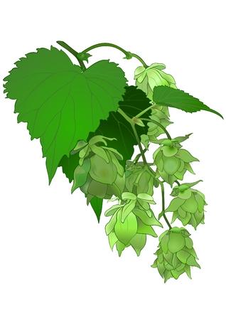 smell: Humulus Lupulus.(Lat).