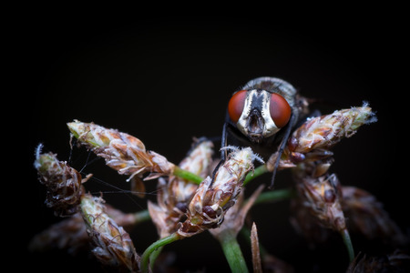 Macro picture of a house fly resting on grass shot at night with flash Stock Photo