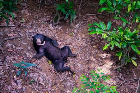 sandakan: A lonely sun bear is seen lying on the forest floor in Borneo rainforest.