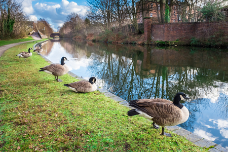 Wild Ducks at Birmingham Canal