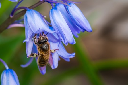 A bee is gathering nectar from bluebell flowers Stock Photo