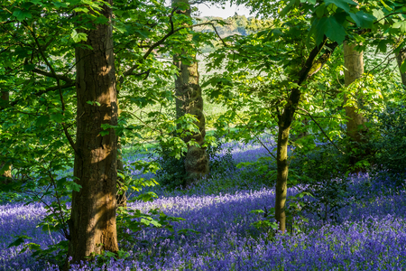 Carpet of bluebells at Lickey Hill Country Park in Birmingham