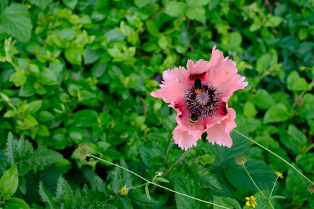 Oriental Poppy Papaver Orientale Cedric Morris blooming in the garden with two bees seen gathering nectar