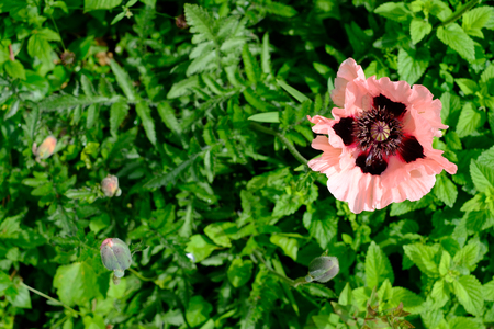 Oriental Poppy Papaver Orientale Cedric Morris blooming in the garden. Stock Photo