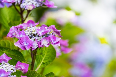 Purple Hydrangea macrophylla blossoming in garden at summer time.