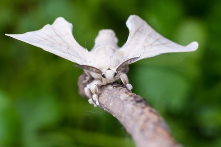 A silkmoth is holding on a wooden stick