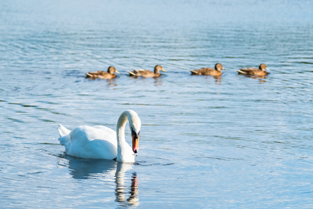 Elegant mute swan with 4 ducklings at the background