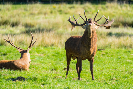 cervus: A red deer stag shouting during rutting season