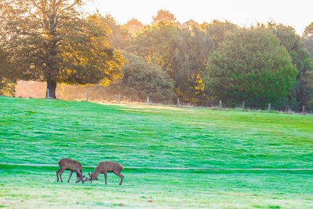 Two red deer stags rutting early in the morning Stock Photo