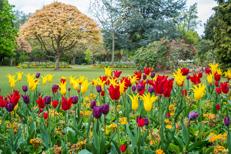 Colorful tulips seen at Cannon Hill Park in Birmingham during spring Stock Photo