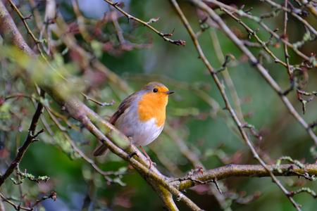A beautiful European robin tweeting on a tree branch in back garden.