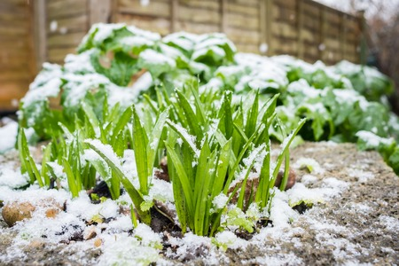 New plant emerging from soil in winter and covered with snow