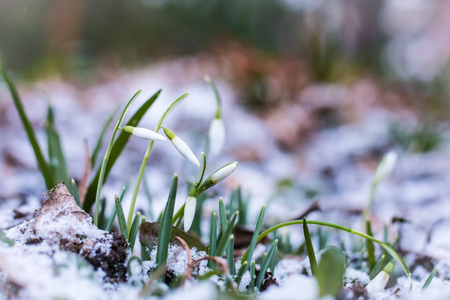 Snowdrops flowers struggling in the cold weather and snow. 版權商用圖片
