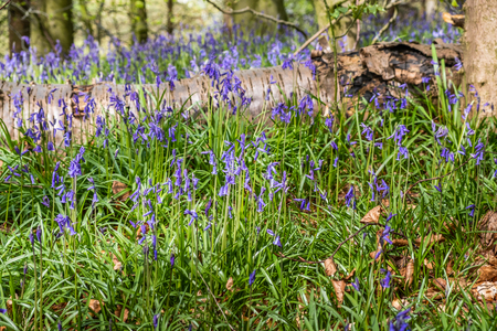 Close up view of bluebells at Beaconwood and the Winsel Фото со стока