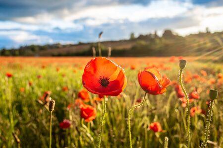 Amazing poppy flowers seen in a beautiful poppy field.