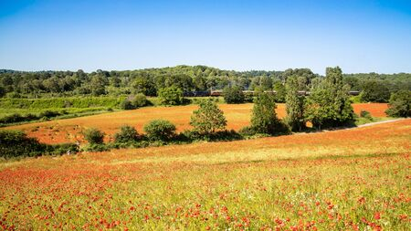 A beautiful poppy field with steam train in the background