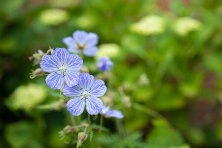Close up view of a few Meadow Cranesbill flowers.