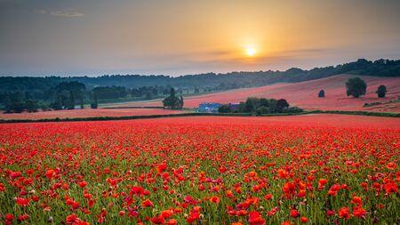 Amazing Poppy Field at Brewdley, West Midlands at Dawn