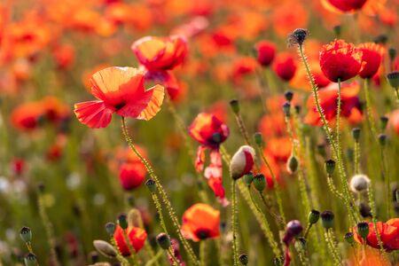 Close Up View of Poppy Flowers at Dawn Near Brewdley Stok Fotoğraf