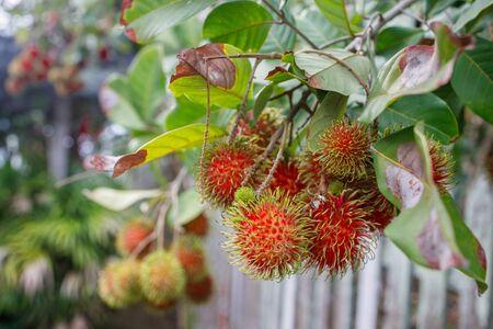 A bunch of rambutan fruit hanging from a rambutan tree.