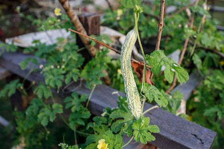 Small bitter gourd or melon hanging from a plant