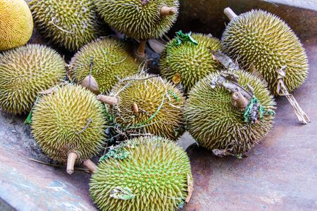 Multiple freshly picked durians in a wheelbarrow. Stockfoto