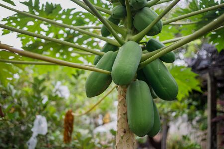 A papaya tree in a back garden with many papayas on it.